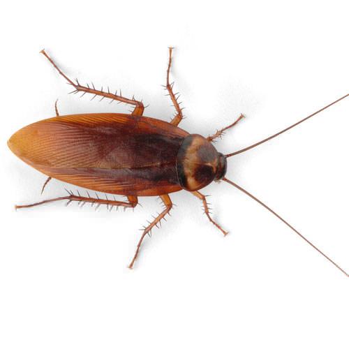 Cockroach Exterminator Sanford, Fayetteville, Asheboro