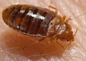 Bed Bugs inside a Randleman house