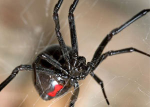 Black Widow Spiders in Laurinburg